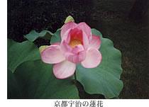 京都宇治の蓮花