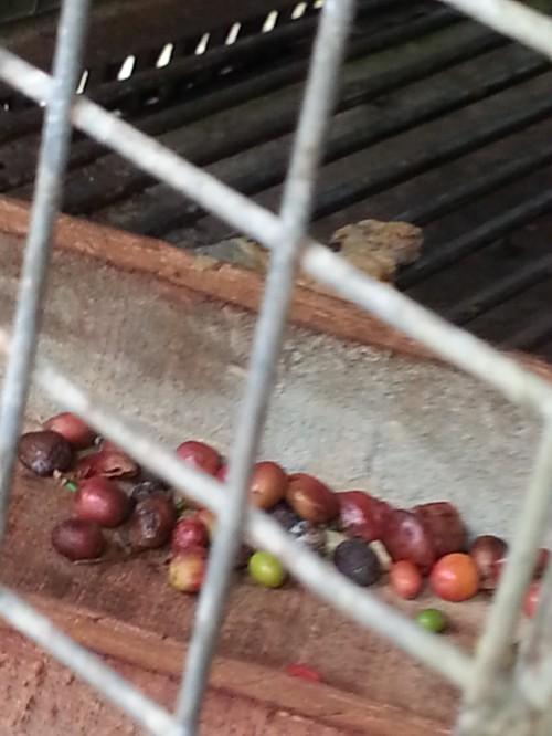 バリ・コーヒー豆の餌